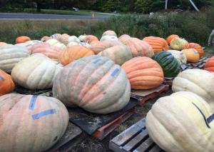 It's definitely autumn when the giant pumpkins arrive