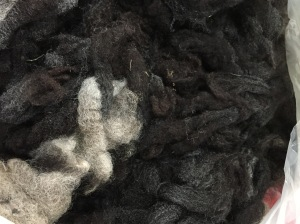 Shetland fleece on the drying rack