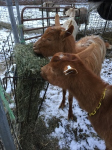 Delta and Dorcas tuck in to breakfast on this wintry morning